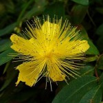 Fleur de millepertuis, Photo de Quichottine