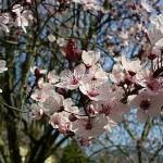 071016_Arbre-en-fleurs