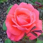 071119_Rose-douce