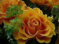 080203_Rose-Orange
