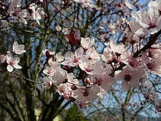 080221_Arbre-en-fleurs