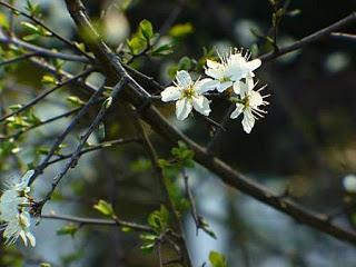 080221_Arbre-en-fleurs_2
