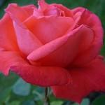 080317_Rose_Selene