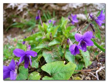 Violettes_Clo_180608