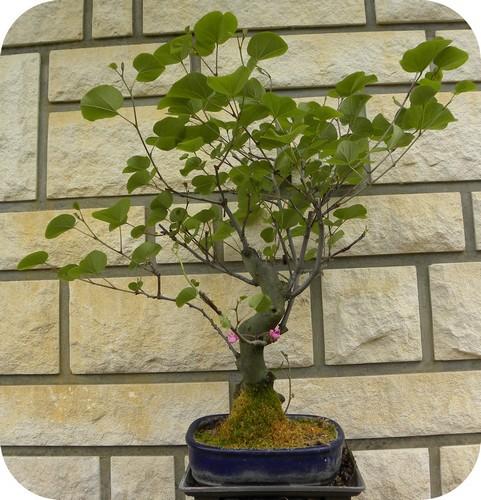 L'arbre de Judée de Brigitte, l'Ecureuilbleu