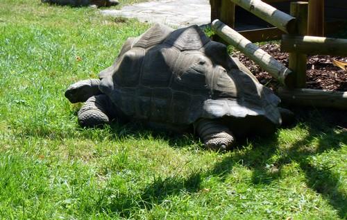 100711 Tortue geante des Seychelles