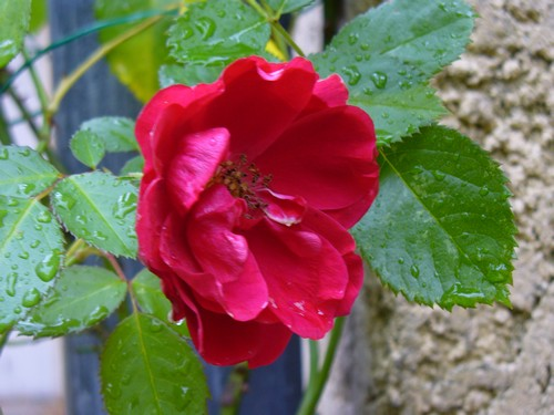 101120_Rose