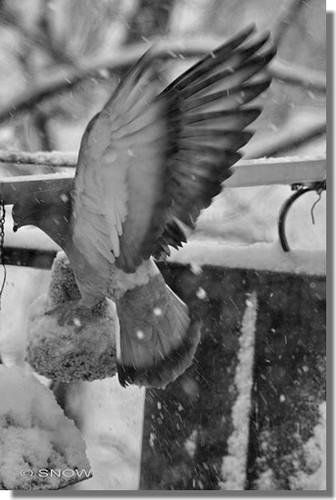 101217_Snow_oiseau.jpg