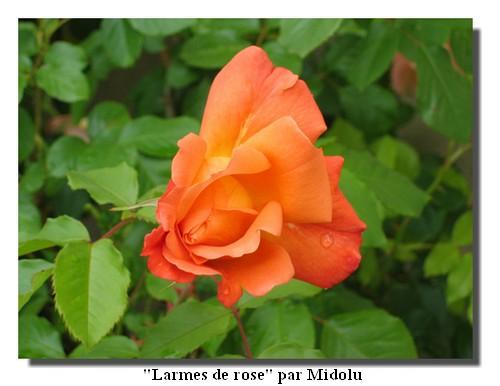 110517_Midolu_larme-de-rose.jpg