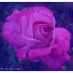 110526_Rose