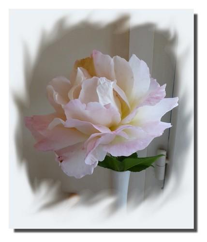 170820_Rose